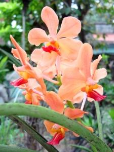 Peach Vanda, c2006