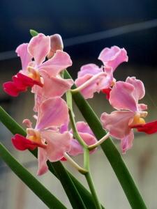 Pink Vanda, c2010